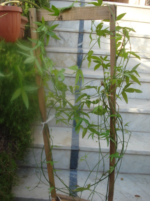 Passiflora mollissima Qui connait cette passiflore ? Dsc00052
