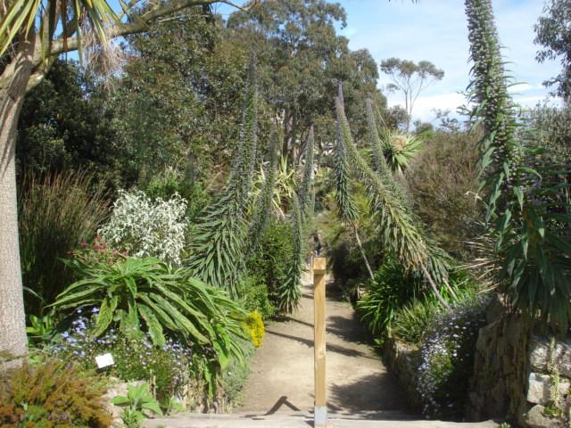 Jardin merveilleux Echium10