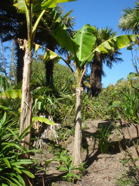 Jardin merveilleux Musa_b10