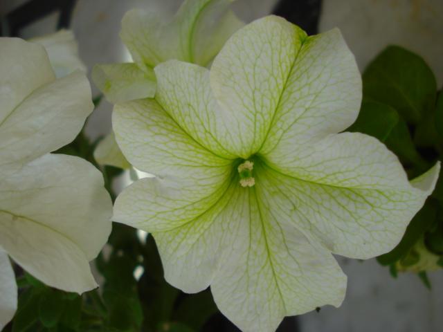 Changer la couleur d une fleur Petuni11