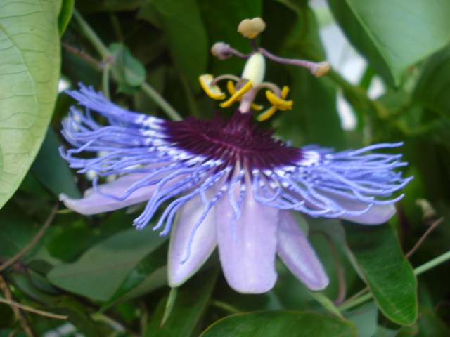 Bulbeuses exotiques acclimatables au jardin ( Liliacées, ( Amaryllidacées, Iridacées...) Purple10
