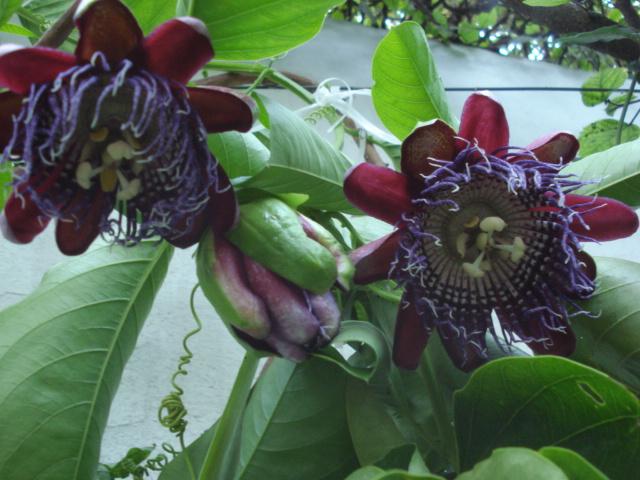 "Notre collection ""passiflora"" - Page 5 Quadra11"