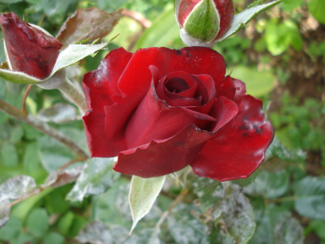 mes rosiers ce matin Rose_r11