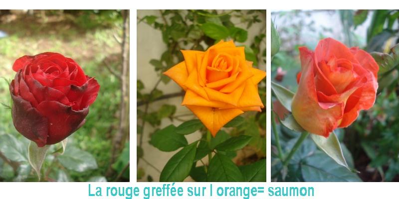 Changer la couleur d une fleur Rosier10