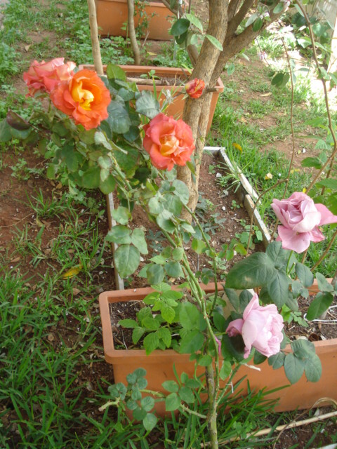 mes rosiers ce matin Rosier12
