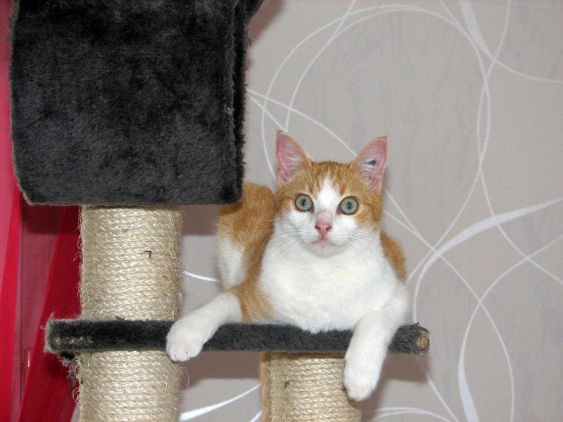 FLOYD - Mâle roux et blanc - 3 ans - FIV+ Attach10
