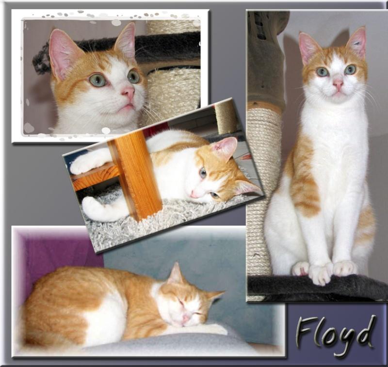 FLOYD - Mâle roux et blanc - 3 ans - FIV+ Floyd10