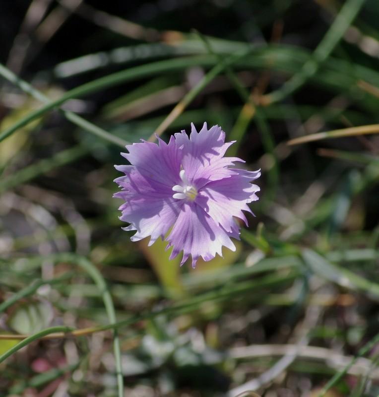Dianthus gallicus, l'Oeillet des dunes D_gall10