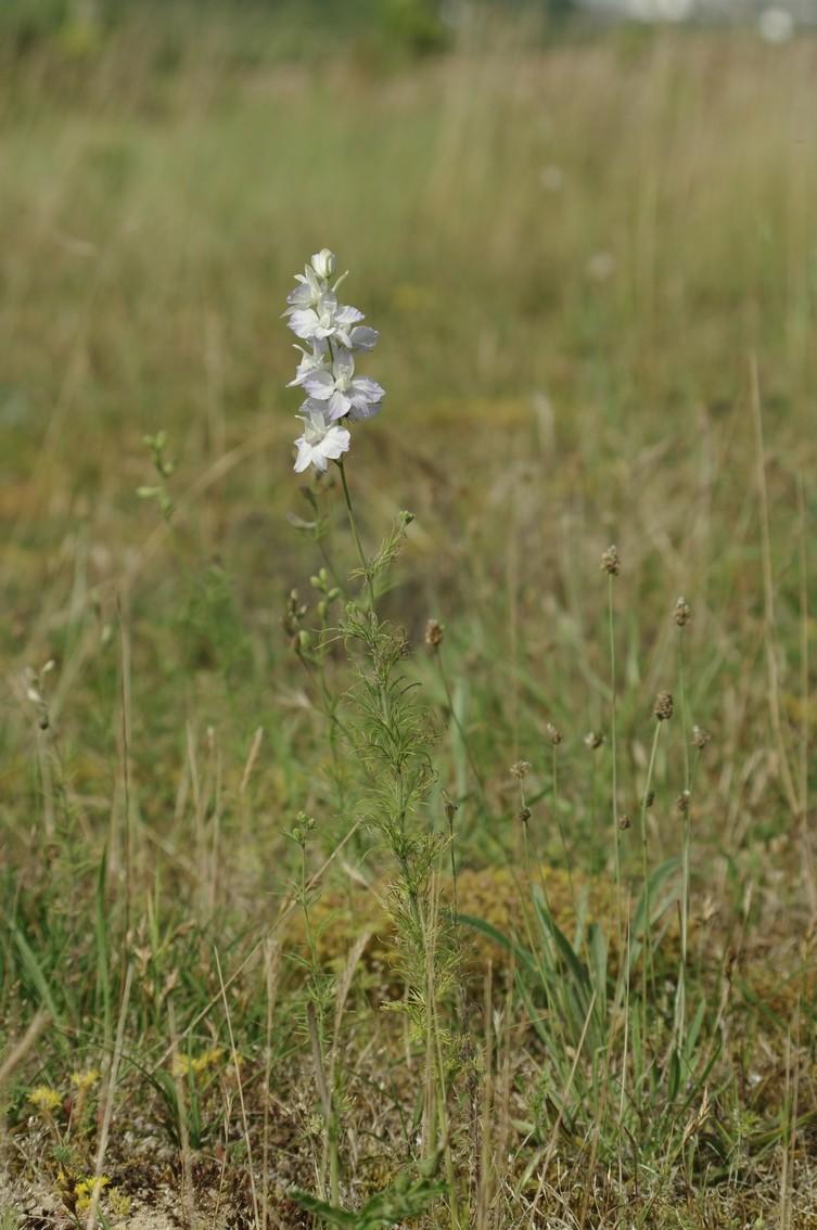 Identification ? [Consolida ajacis - Ranunculaceae] Identi10