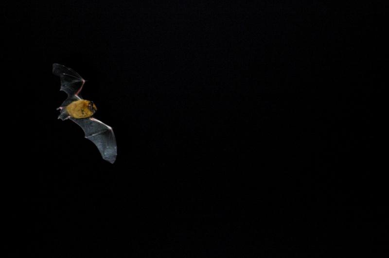 Pipistrelle en vol Photop11