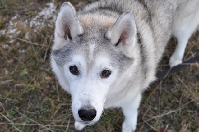 Natasha of Snoshu, April 28th, 1996- February 1st, 2010 Tasha10