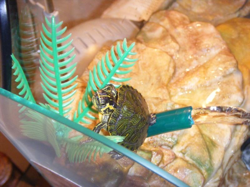 vi presento i miei amori... le mie tartarughine  Dscf2911