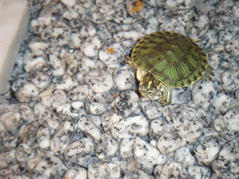 vi presento i miei amori... le mie tartarughine  Dscf2912