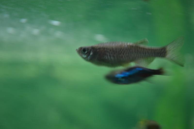 poissons qui gonlent Dsc_0015