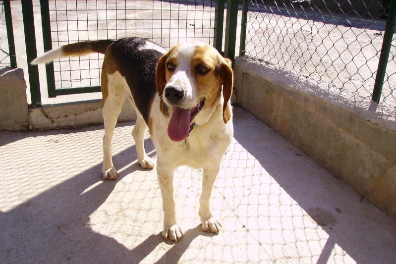 BAMBOU, croisé beagle mâle, 3 ans (20)  Pict1013