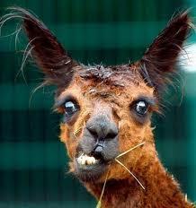 Qu'est ce qu'un lama? Images10