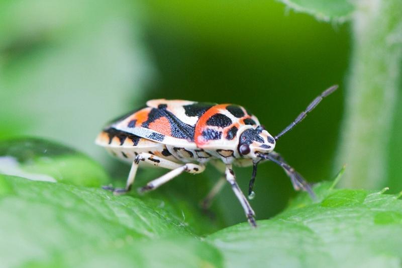 pentatomidae: Eurydema ornata _mg_2310