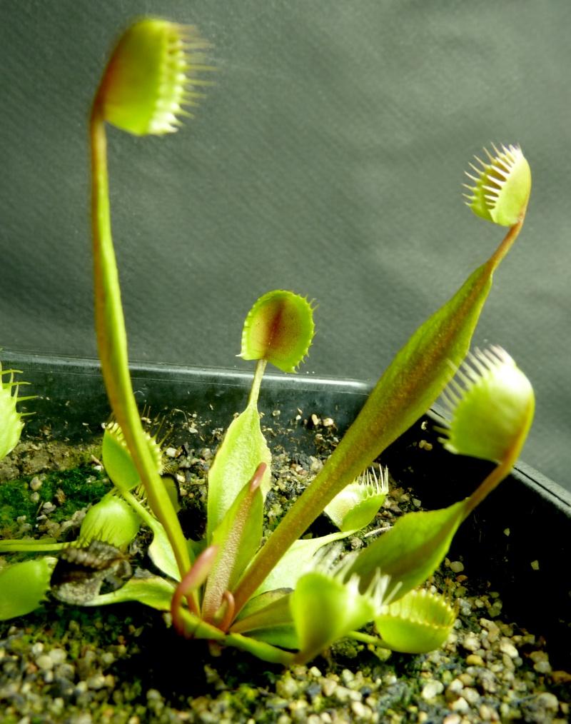 Dionaea Pix France - Portail P1030712