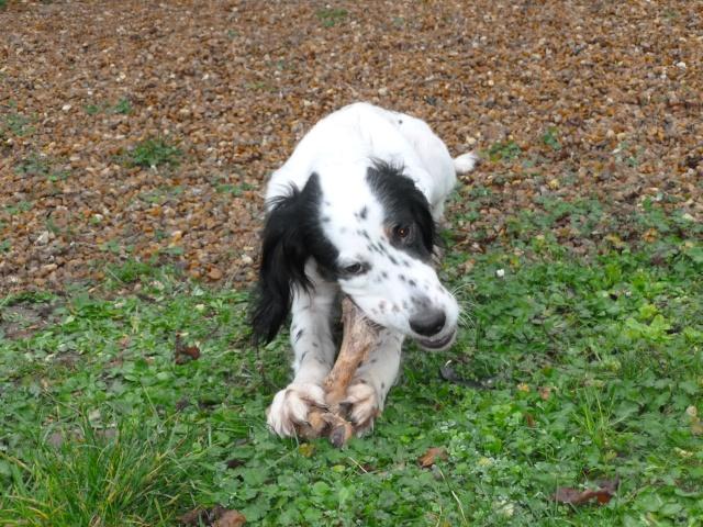 BEAU Setter Anglais né le 01.06.2009  adopté par BIGGLES (66) P1000017