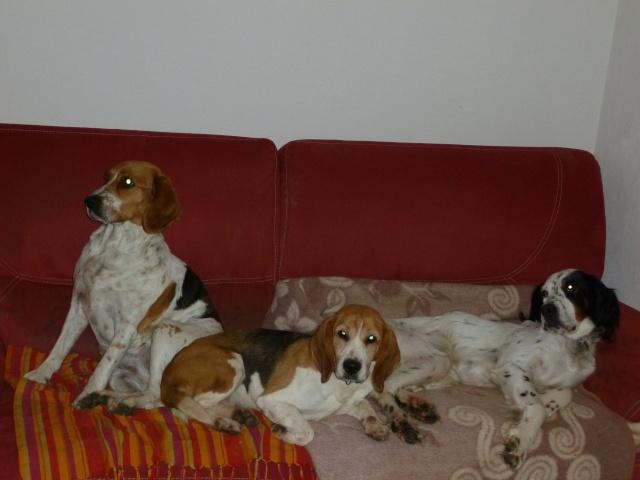 BEAU Setter Anglais né le 01.06.2009  adopté par BIGGLES (66) P1000028