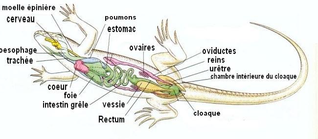 Anatomie générale du lézards Anatom11