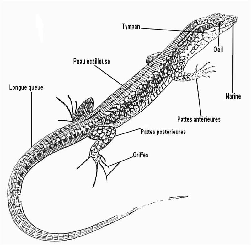 Anatomie générale du lézards Lezard10