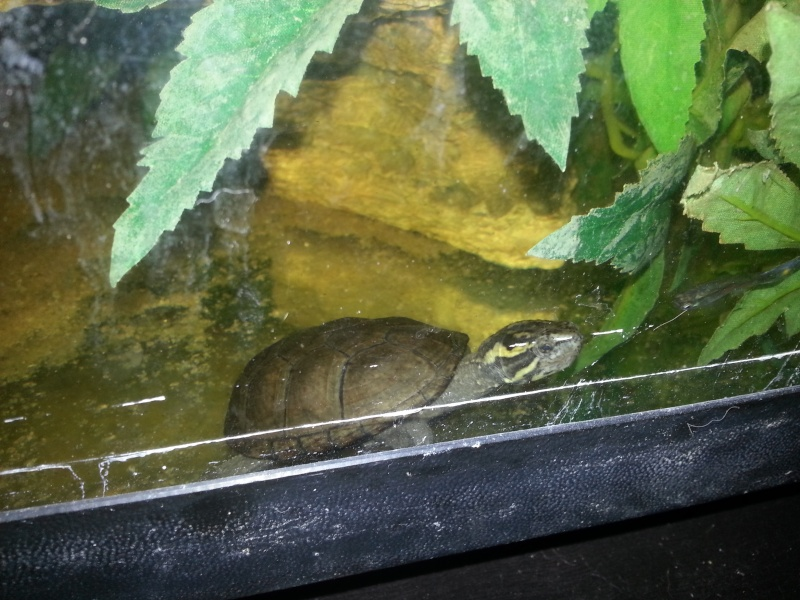 Mes Kinosternidae 20121110
