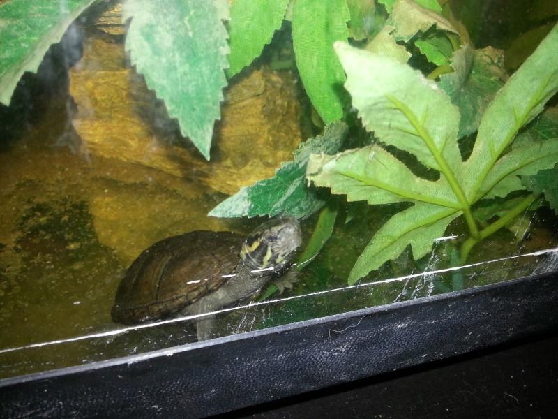 Mes Kinosternidae 20121111