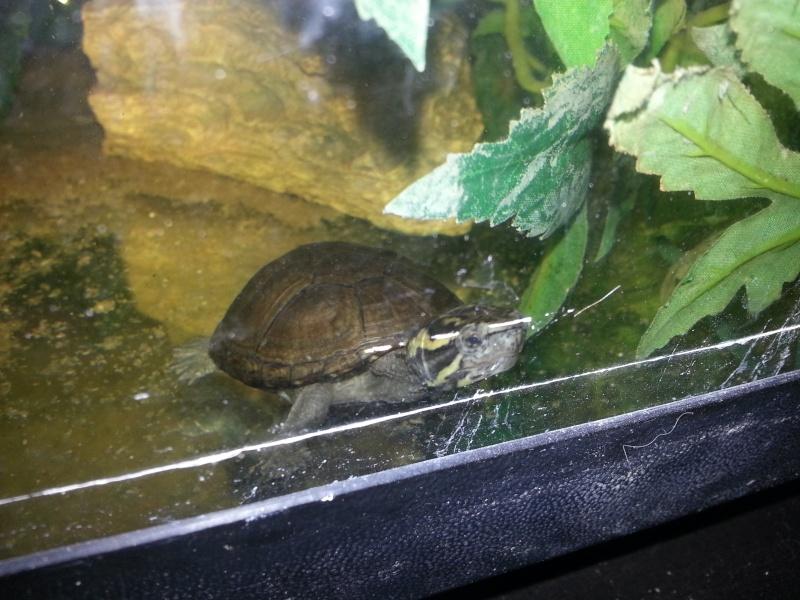 Mes Kinosternidae 20121113