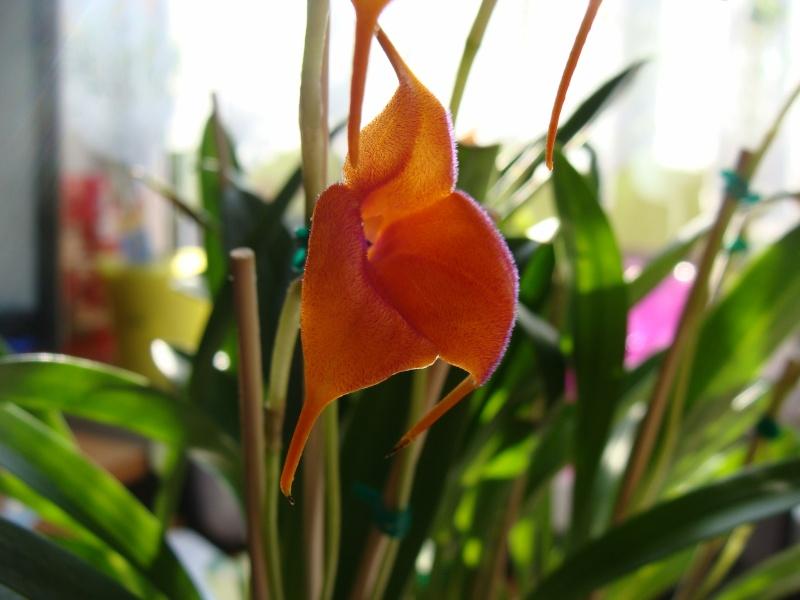 Masdevallia Velvet Sunshine Dsc06210