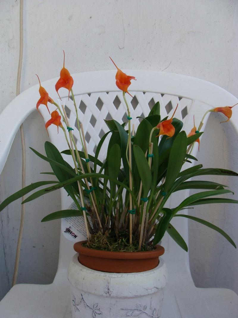 Masdevallia Velvet Sunshine Dsc06211
