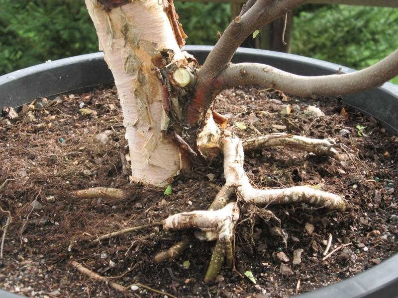 Betula nigra, pretty jazzed Img_3512