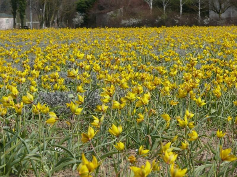 Tulipa sylvestris à Die Tulipa13