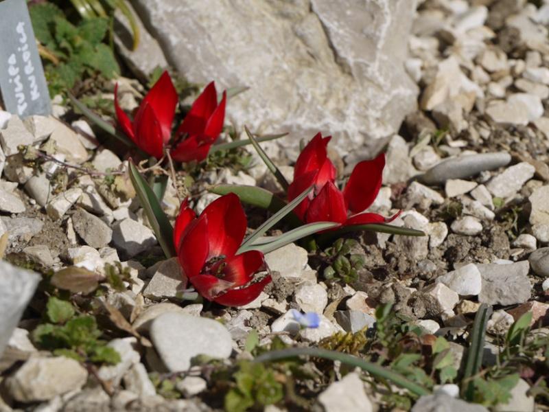 Tulipa 2012 Tulipa17
