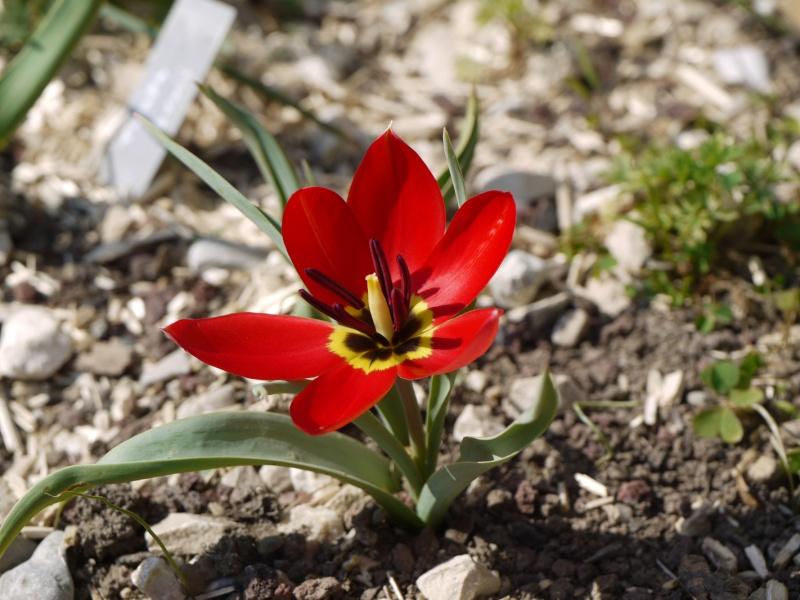 Tulipa 2012 Tulipa19