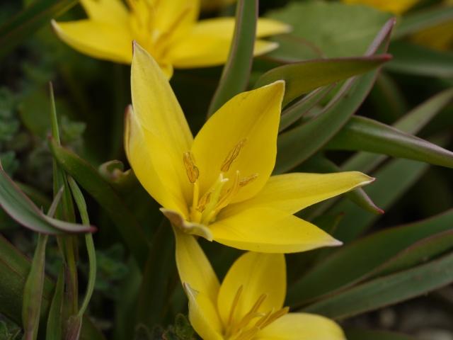 Tulipa 2012 Tulipa24