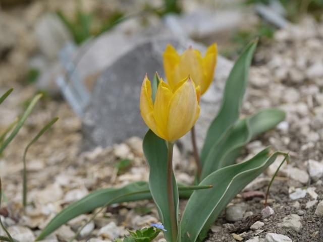 Tulipa 2012 Tulipa25