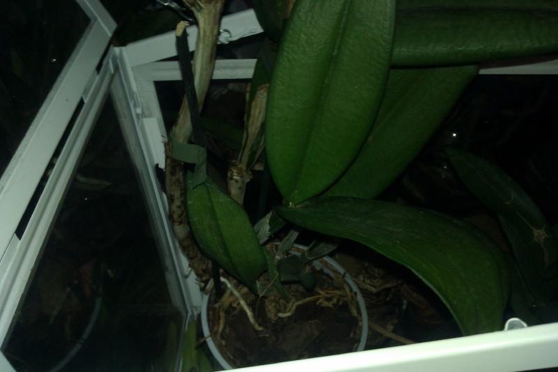 Uprawa wazonowa w keramzycie - Page 3 Catley11
