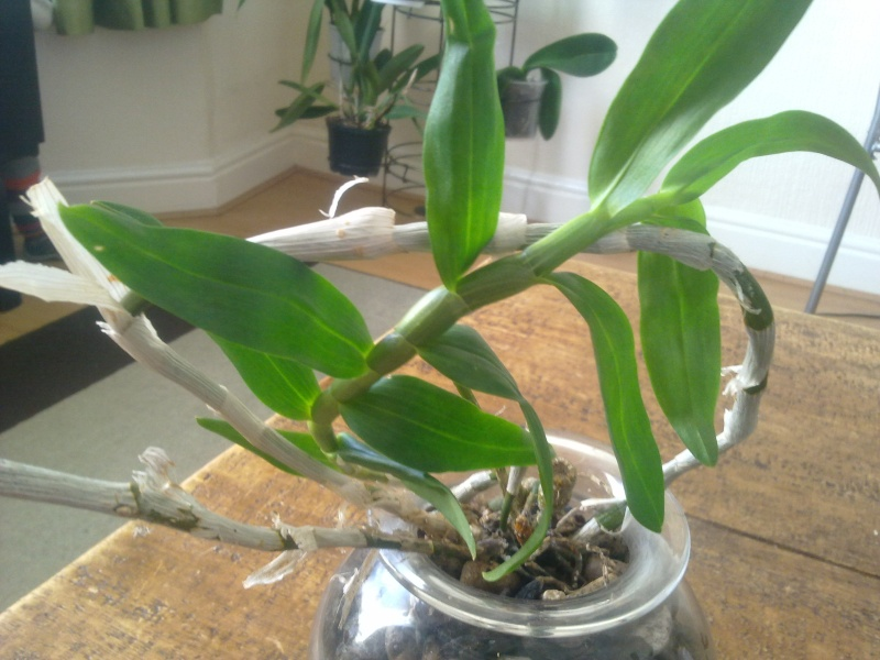 Uprawa wazonowa w keramzycie - Page 2 Dendro13