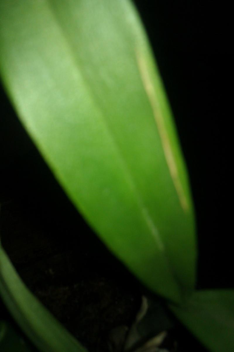 Uprawa wazonowa w keramzycie - Page 3 Lisc_c11