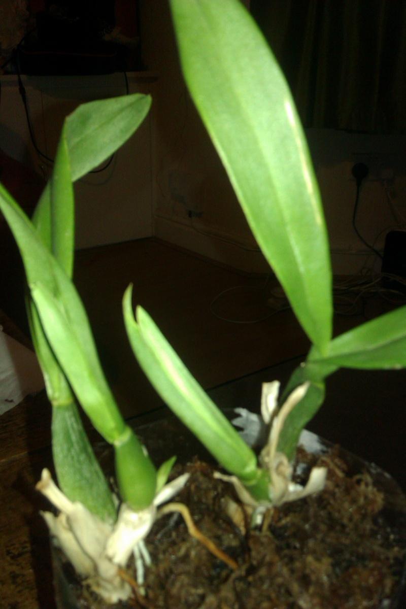 Uprawa wazonowa w keramzycie - Page 3 Onc_hy11