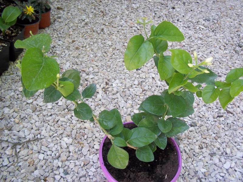 Jasminum sambac 100_0920