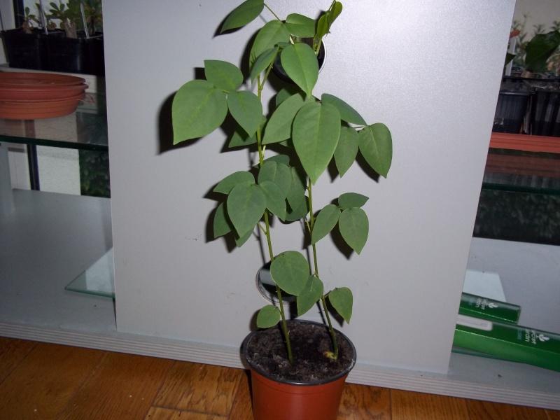 Erythrina crista-galli 100_1113