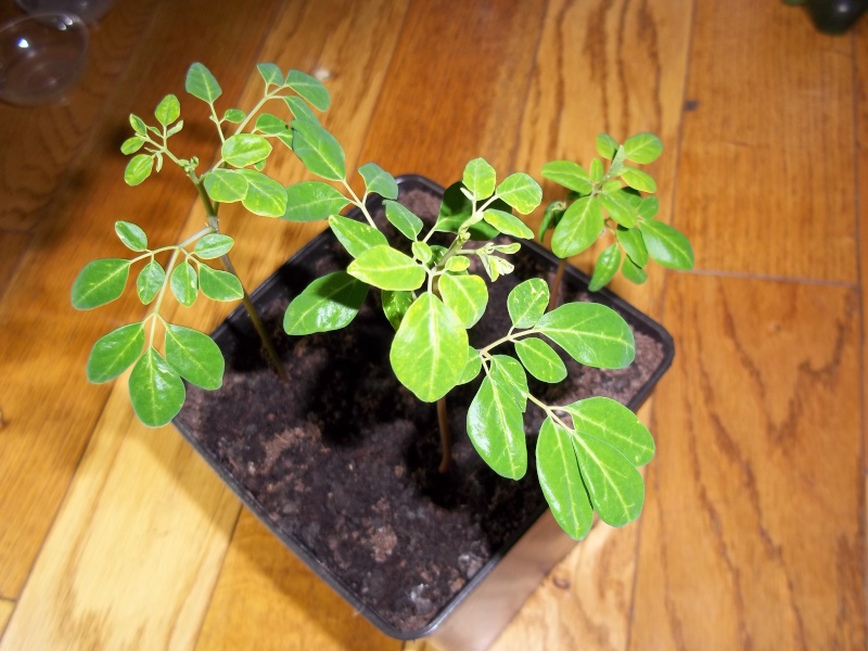 Arbre de vie- le Moringa Oleifera 100_1116