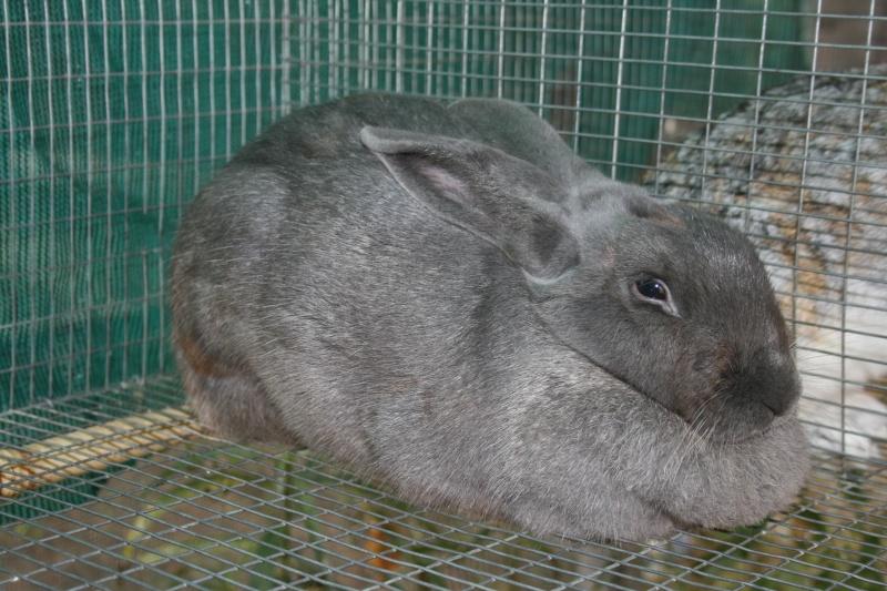 New Zealand Blue Rabbits 00212