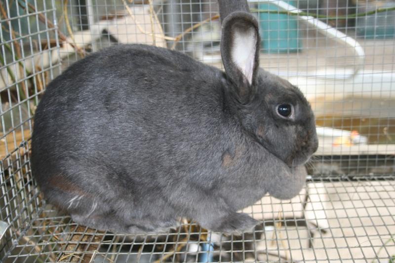 New Zealand Blue Rabbits 00611