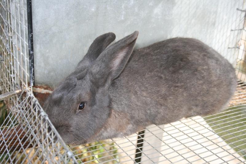 New Zealand Blue Rabbits 01012