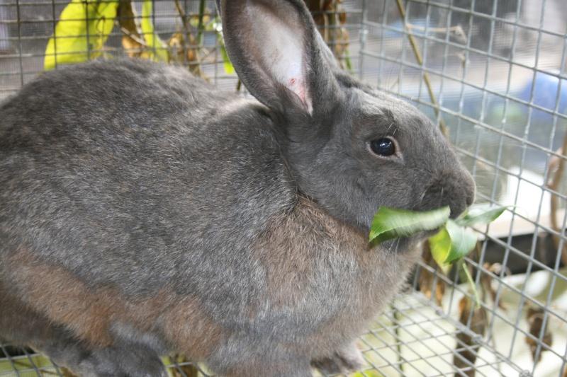 New Zealand Blue Rabbits 01311