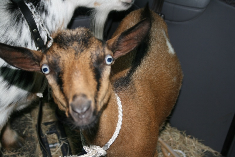 Goats in the car. 01511