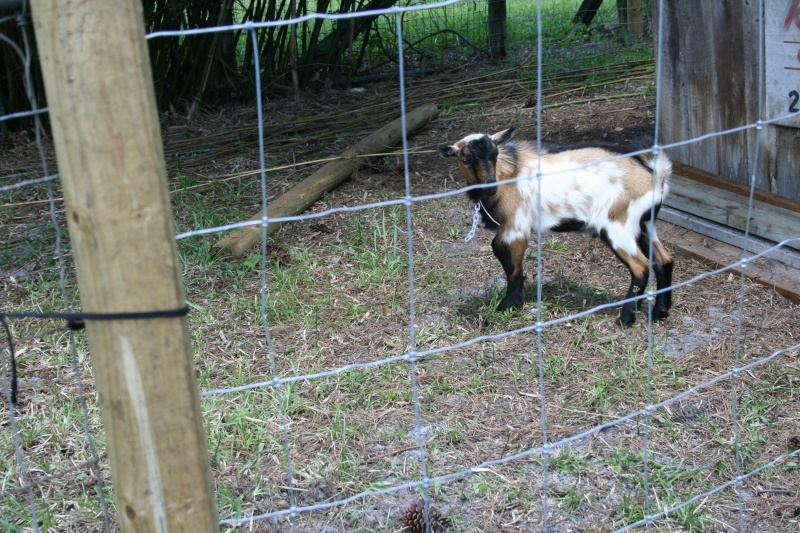 More goat pickies 05411